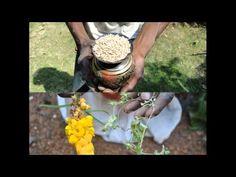 Medicinal Rice P5M Formulations for Enicostema Excess: Pankaj Oudhia's M...