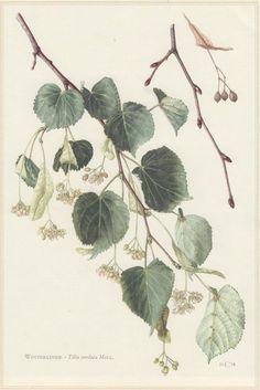 1960 Vintage Botanical Print Tilia cordata by Craftissimo on Etsy
