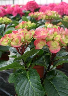 If you're looking for an unusual hydrangea with bright color, this is the plant for you! Vivid mop-head flowers emerge green and peach, maturing to hot pink. An excellent summer color item for the mixed border. Shop this new hydrangea and others in the plant catalog #sponsored #growbeautifully