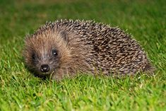 How well do you know Britain's favourite mammal? Getting the key facts right could help save the species. Avoid these five common myths. Welsh Words, Common Myths, Stand Up, Animal Kingdom, Mammals, Nativity, Hedgehog, Creatures, Garden