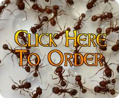 where to get ants cheap for ant farms