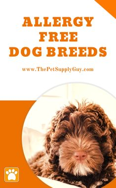 If you're allergic to dogs have you're not the only one that has this problem! Luckily there are plenty of hypoallergenic dog breeds that make great companions for allergy sufferers Large Dog Breeds, Best Dog Breeds, Hypoallergenic Puppies, Dog Nutrition, Nutrition Guide, Allergic To Dogs, Dog Facts, Free Dogs, Cute Animal Pictures