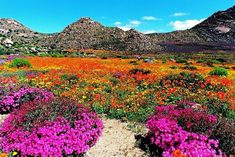 Photo taken in Goegap Nature Reserve, South Africa. Desert Flowers, Desert Plants, Wild Flowers, Landscape Photography, Nature Photography, South Afrika, Belleza Natural, Africa Travel, Nature Pictures