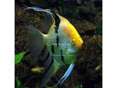18 Different Types Of Angelfish to Consider For Your Freshwater Fish Tank Aquarium Fish For Sale, Aquarium Ideas, Dwarf Frogs, Red Fish Blue Fish, Freshwater Aquarium Fish, Fish Aquariums, Koi Carp, Angel Fish, Beautiful Fish
