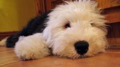 Mika the sheepdog!!