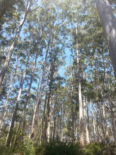 Hoge bomen bij Margeret River