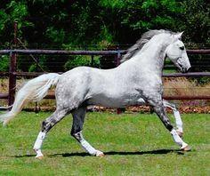 Registered Irish Draught stallion, Rosenburg from Jacquelyn Harlow<br> Cute Horses, Pretty Horses, Horse Love, Gray Horse, Horse Photos, Horse Pictures, Most Beautiful Horses, Animals Beautiful, Majestic Horse