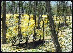"""'Lob's Wood,' . . . Perintown (Milford), Ohio. Woodland daffodils,"" ca. 1920, a hand-colored lantern slide by Frances Benjamin Johnston, via Library of Congress Print…"