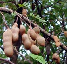 Te gusta el tamarindo?  Do you like the tamarind?