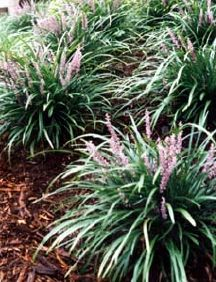 """Liriope- Monkey Grass """"Big Blue"""" prefers shade or afternoon shade."""
