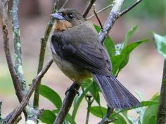 Tiê-bicudo (Conothraupis mesoleuca)