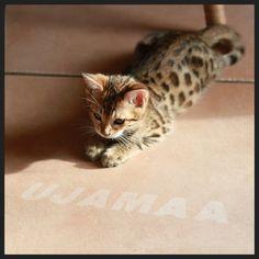 Bengal Kitten #Bengal cats