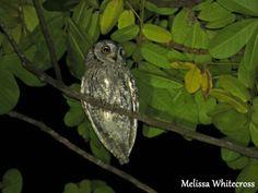 African Scops Owl - Letaba KNP
