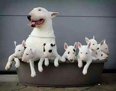Bull terrier - English Dog