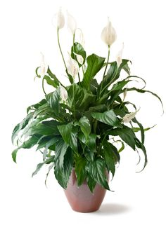 Easy house plants. Spathiphyllum Sweet Chico