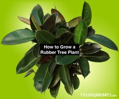 How to propagate a rubber tree plant. Learn how to propagate a rubber tree plant and other care tips Rubber Plant, Rubber Tree, Poisonous Plants, Rare Plants, Trees To Plant, Plant Leaves, Plant Cuttings, Propagation, Ficus Elastica