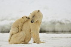 Eye to eye.  A mother polar bear and her cub in Svalbard.  Wildlife and nature photography by Yves Adams.