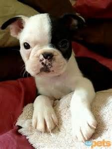1000+ images about Boston Terrier Cuteness on Pinterest | Boston terriers, Boston and Boston ...