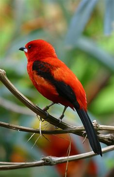 eye chilis seeds, birds lament, angry birds birds that dance to m. World Birds, All Birds, Little Birds, Angry Birds, Love Birds, Three Birds, Exotic Birds, Colorful Birds, Exotic Pets