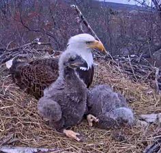 Bald Eagles Eagle Images, Eagle Pictures, Cute Animals, Crazy Animals, Wild Animals, Eagle Airlines, Hawk Bird, Eagle Wings, Bald Eagles