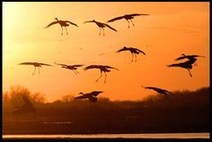 Sandhill cranes land in the Platte River in Nebraska at Sunset and Romans 1-20
