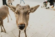 Seeing the Deer Park in Nara has been a dream of mine for years& I was not prepared for how crazy they can be!& The second I saw the deer,& Zhangjiajie, Time Of Our Lives, Deer Park, Cute Little Animals, Baby Deer, Nara, Wander, Two By Two, Travel