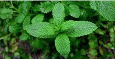 Verde, refrescante e aromática.São as três palavras que vêm à nossa mente quando pensamos na hortelã.Mas esta incrível erva não se resume apenas a essas três palavras.