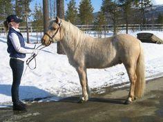 Reisa Cieggavarre.  3 years old Nordland/Lyngen horse stallion.