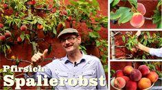 Spalierobst Pfirsich schneiden   Gartentipp 08 14 August