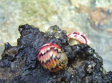 nerite snails in Aquarium & Fish