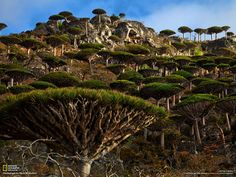 """One third of the plant life on Socotra Island (Yemen) is found nowhere else on planet Earth. One of the most bizarre forms of life is the dragon blood tree, which resembles an umbrella. National Geographic, Places Around The World, Around The Worlds, Dragon Blood Tree, Dragon Tree, Lago Baikal, Hidden Beach, Excursion, Natural Phenomena"