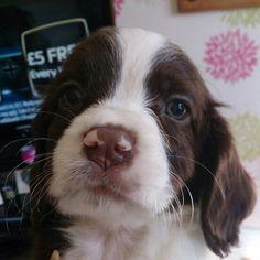 Springer puppy.