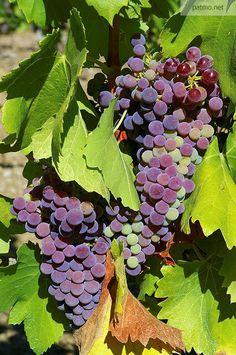 Grappes de raisins - Massif des Maures (France) - phot. Patrick Morand.