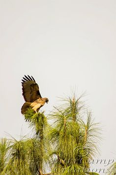 Nature Photography Hawk Landing  13x19 Inch by BurrCampCreations, $35.00