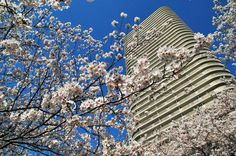 Another great shot by the Sumida River combing the omnipresent concrete jungle with ever encorahing nature. Taken early April Tokyo Tour, Concrete Jungle, Great Shots, Cherry Blossom, Tours, Japan, River, Seasons, Nature
