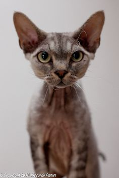 Devon Rex -- interesting looking but something tells me I'd be putting A LOT of work into such a cat