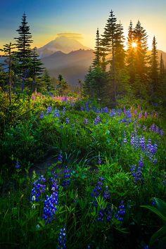 washington state, mountain, sunset, mount rainier, sunris, national parks, gods creation, place, wildflower meadow