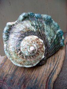 Sea-shell.