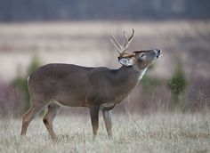 A beautiful white tailed deer at Cades Cove