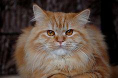 Champú casero para gatos