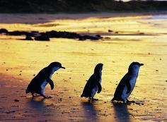 Pingouins - Phliip Island