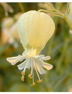 Silene vulgaris Hólyagos habszegfű Caryophylliaceae