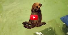 Stop What You Are Doing And Watch This Orphan Otter Pup Learning The Ways Of The Otter World! | The Animal Rescue Site Blog