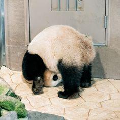 Cute Funny Animals, Cute Baby Animals, Animals And Pets, Panda Bebe, Cute Panda, Baby Animals Pictures, Cute Animal Photos, Panda Decorations, Panda Costumes
