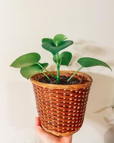Plant Care, Evergreen, South America, Planter Pots, Tropical, Tips, Plants, Plant, Planets