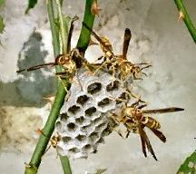 Paper  Wasp  | Call A1 Bee Specialists in Bloomfield Hills, MI today at (248) 467-4849 to schedule an appointment if you've got a stinging insect problem around your house or place of business! You can also visit www.a1beespecialists.com!