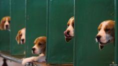 beagle    Like and repin. :)