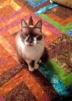 Lavender Senior Gal *Offered by Owner* is an adoptable Snowshoe, Siamese Cat in Hillsboro, OR TThis precious girl was brought to the vet with the owner requesting euthanasia. She was urinat ... ...Read more about me on @petfinder.com