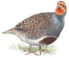 partridge - Bing Images