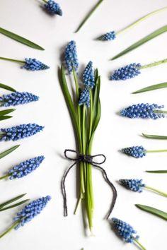 Muscari - Traubenhyazinthen. Saison im Januar, Februar, März und April. #schnittblumen #blumen #hochzeit #hochzeitsblumen #hochzeitsdeko #weddingflowers #hyazinthen #blau
